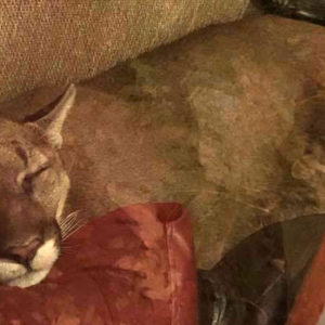 A Mountain Lion Invaded A Woman's Living Room—She Used Telepathy To Calm It Down